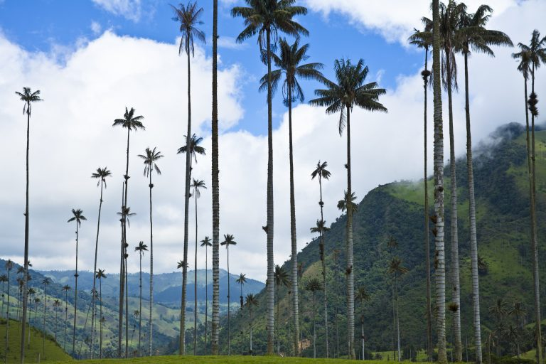Corcora Valley wax palms